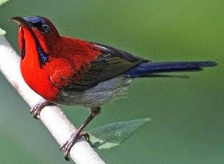 burung kolibri
