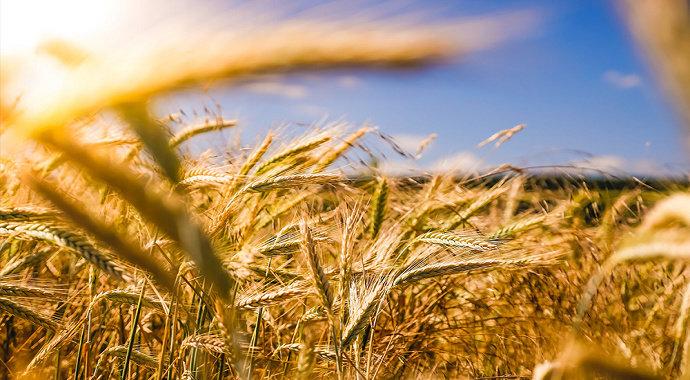 Dedak Gandum atau wheatings