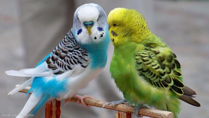 burung Parkit