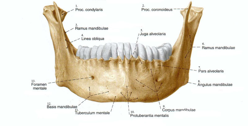 Tulang alveolar