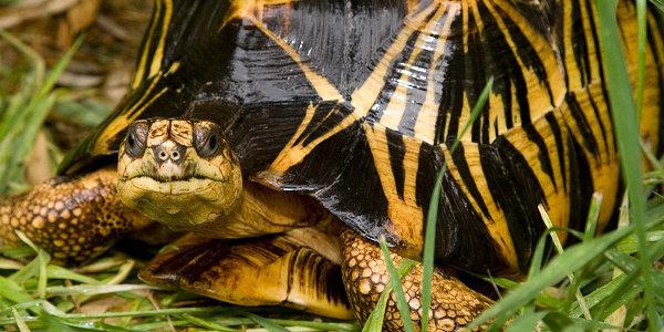 Apa yang anda ketahui tentang Kura kura forsteni? - Hewan ...