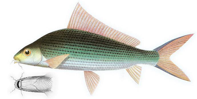 Ikan Masik