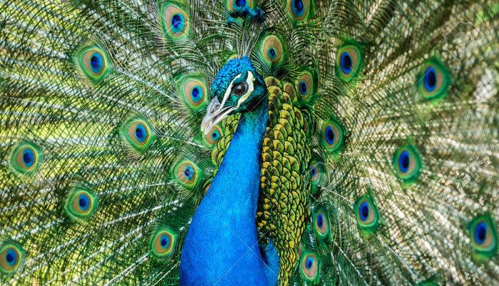 440+  Gambar Burung Merak Biru HD Terbaik Free