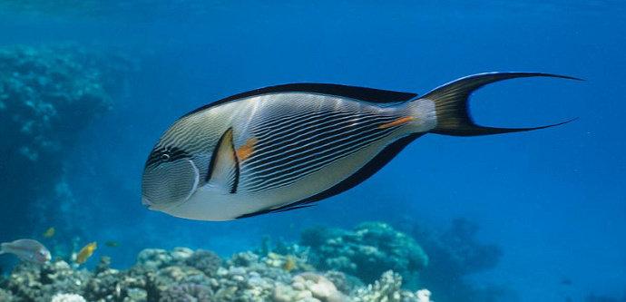 Ikan Kulit Pasir atau Surgeonfish
