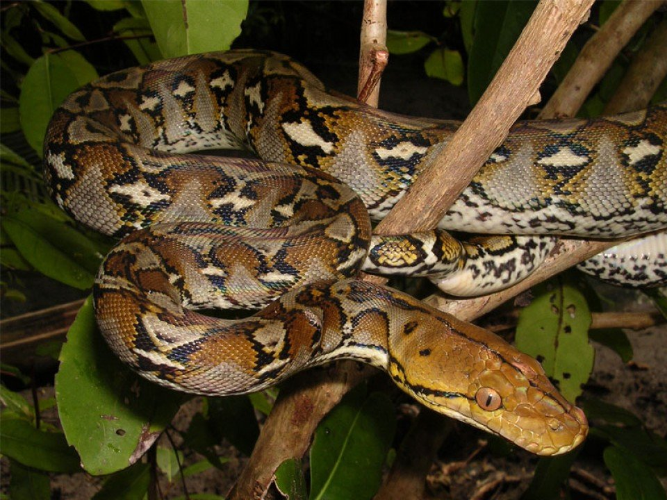 620-inilah-7-fakta-ular-piton-yang-perlu-kamu-ketahui