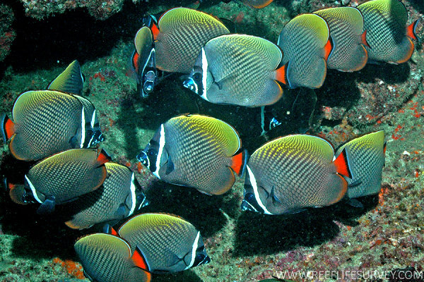 Redtail Butterflyfish (Chetodon collare)