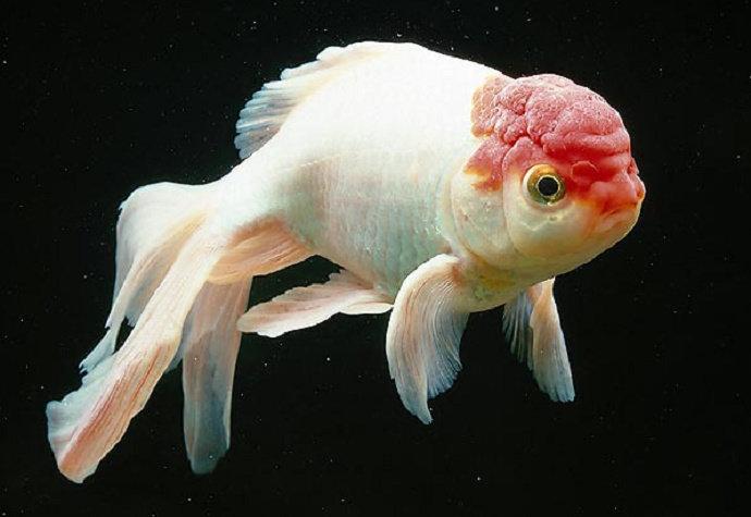 Unduh 4700 Gambar Organ Dalam Ikan Mas HD Terpopuler