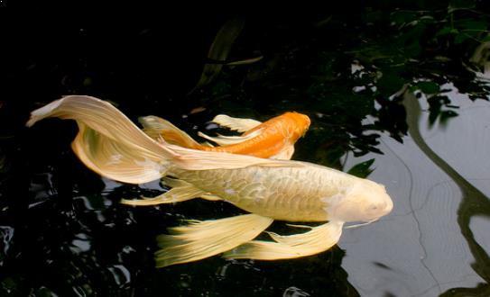Ikan Mas Kumpay