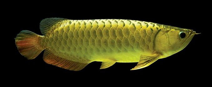 Ikan arwana golden pino