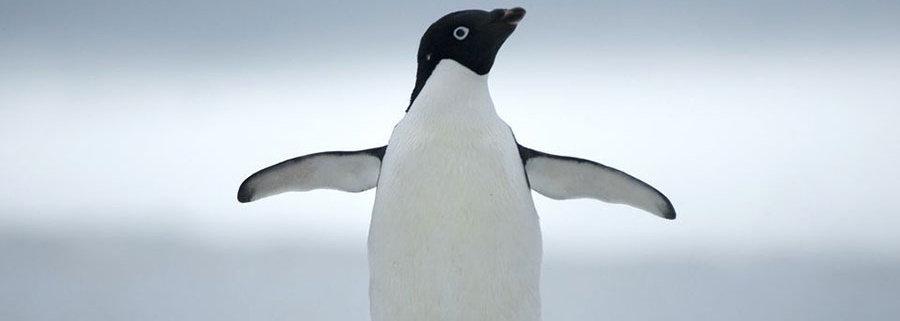 penguin-adelie