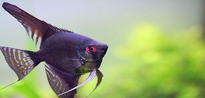 ikan manfish atau angelfish