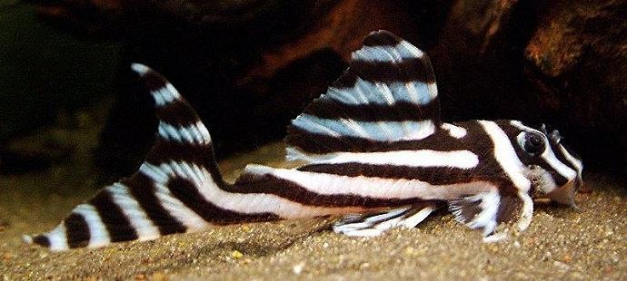 Ikan sapu-sapu Hypancitrus Zebra