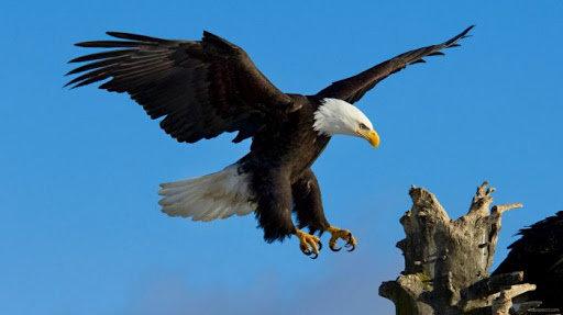 Download 40+  Gambar Burung Elang Yang Dilindungi   Free