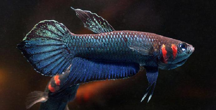 Apa Saja Makanan Alami Ikan Cupang Biar Cepat Besar Diskusi