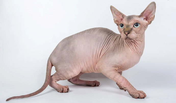 gambar 16 - kucing sphynx