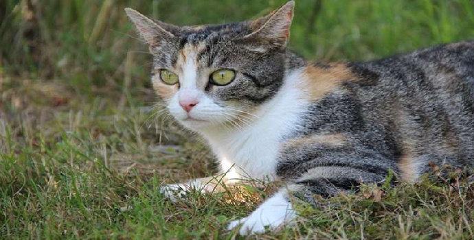 Bagaimana identifikasi keragaman kucing domestik berdasarkan morfogenetiknya?