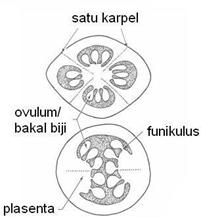 Penampang Melintang Ovarium