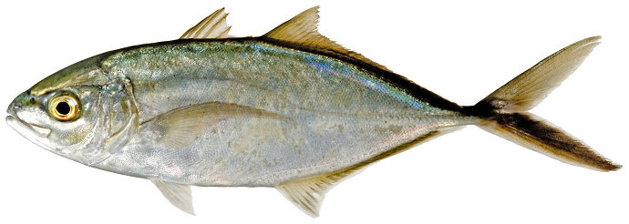 Ikan Bar Jack