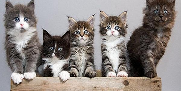 Apa Yang Anda Ketahui Tentang Kucing Maine Coon Hewan Peliharaan Dictio Community