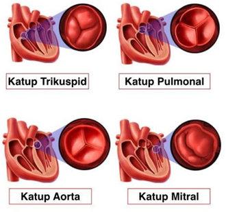 Anatomi Katup Jantung