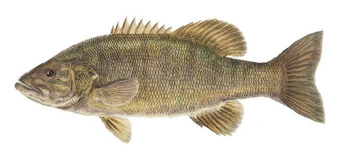 Kelenjar tiroid pada ikan