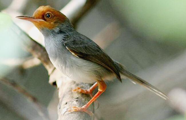 burung ciblek dada putih