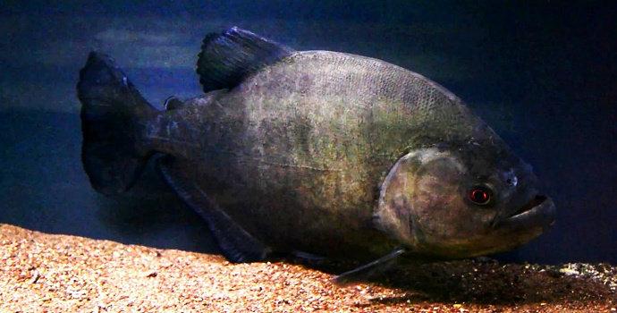 ikan piranha Serrasalmus Rhombeus