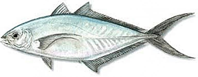 Ikan Barjack