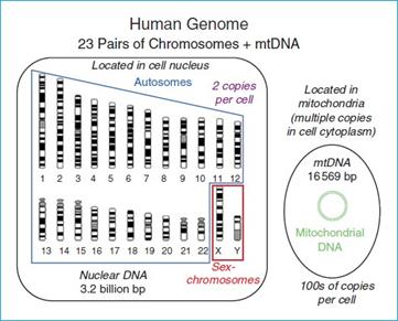 DNA inti dan DNA mitokondria pada manusia