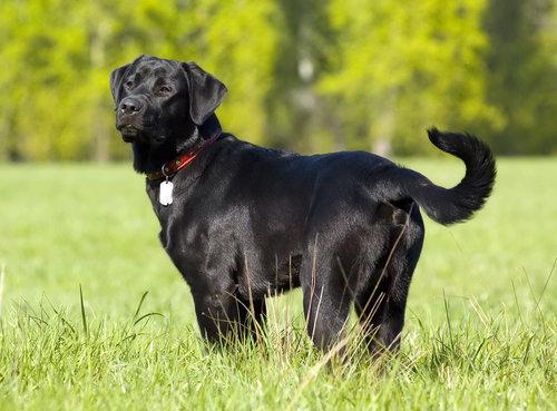 black-labrador-retriever