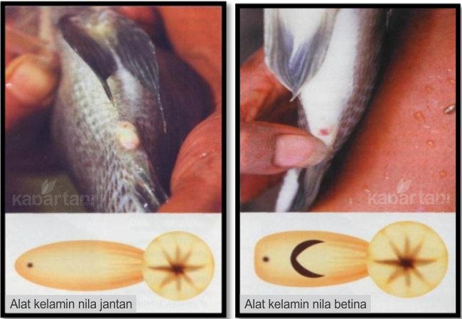 Bagaimana Cara Membedakan Ikan Nila Betina Dengan Ikan Nila Jantan Diskusi Perikanan Dictio Community