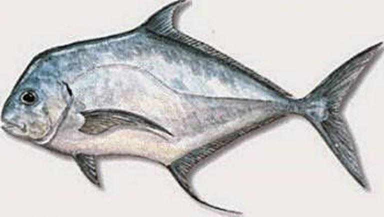 Ikan Terpony