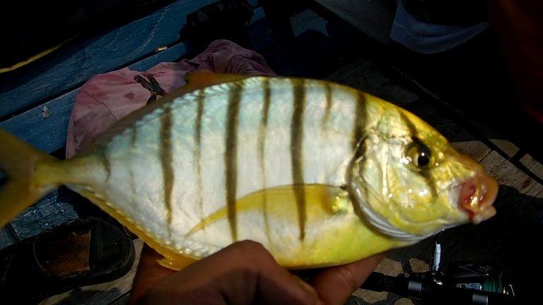 Ikan Kuwe Kuning