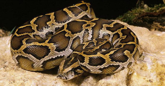Bagaimana Cara Merawat Ular Sanca Bodo Atau Python Molurus