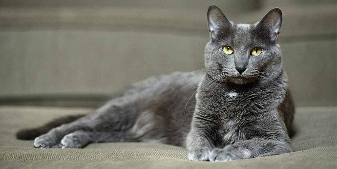 kucing korat