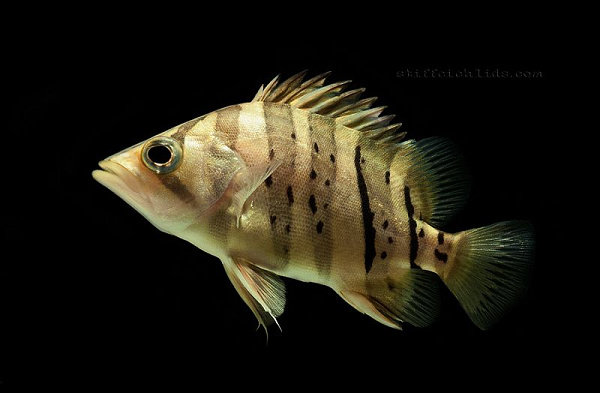 Ikan Datz Indonesia