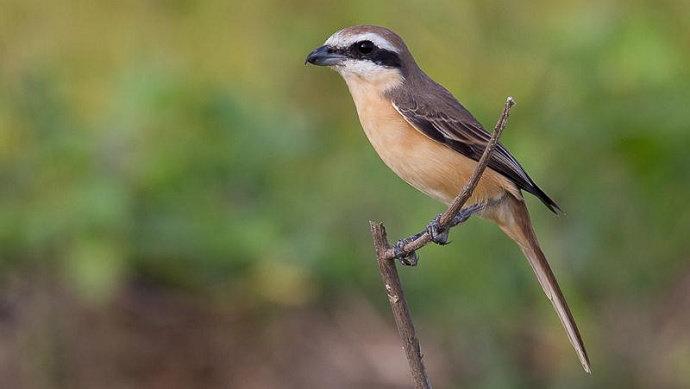 Burung Cendet