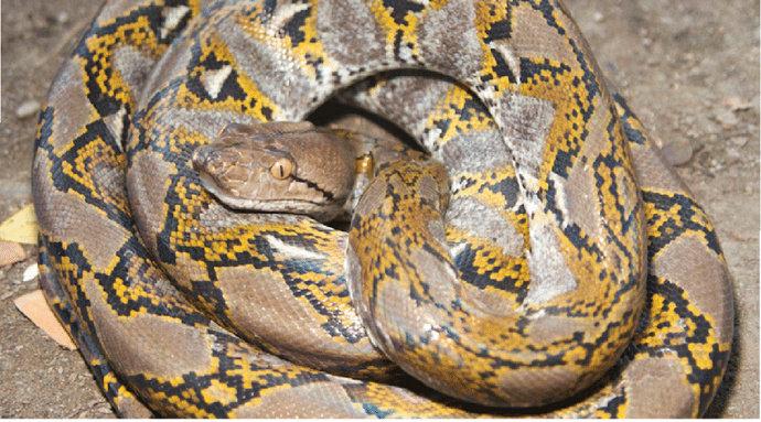 Apa Saja Makanan Untuk Ular Reticulatus Python Atau Sanca Kembang