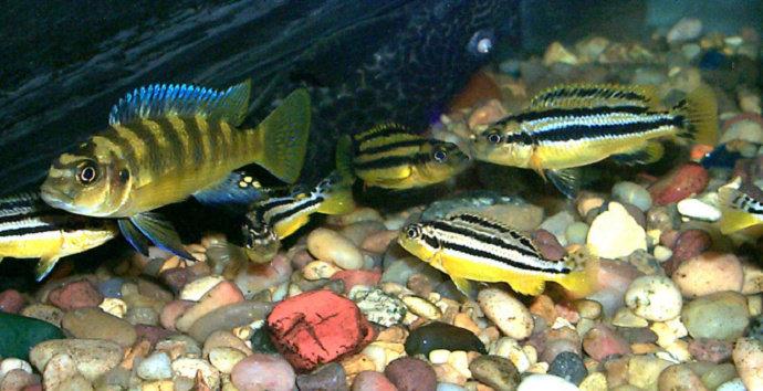 ikan diam di dasar akuarium