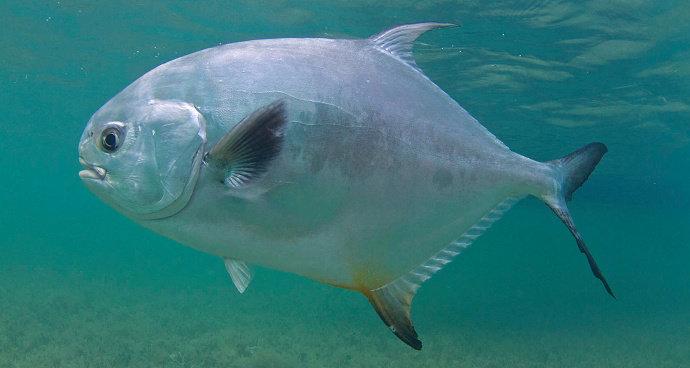 Ikan Permit