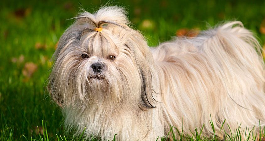 Ten-things-you-didn't-know-about-Shih-Tzus