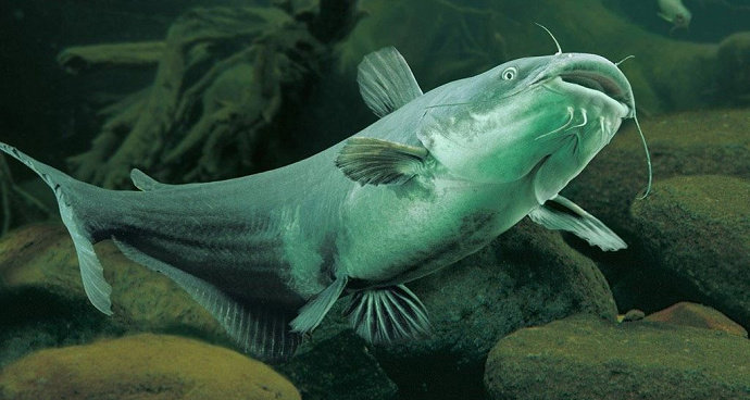 Bagaimana Manajemen Pemberian Pakan Ikan Lele Yang Baik Diskusi Perikanan Dictio Community