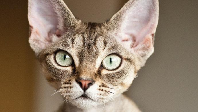 Kucing Hutan atau kucing leopard
