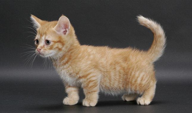 Apa Saja Jenis Kucing Yang Berkaki Pendek Hewan Peliharaan Dictio Community