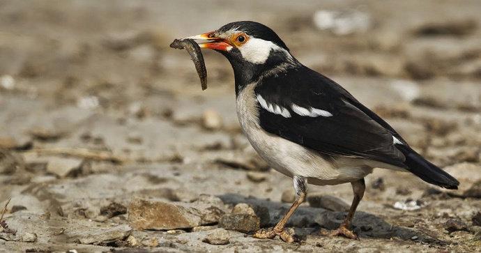 Apa Saja Makanan Favorit Burung Jalak Suren Hewan Peliharaan Dictio Community