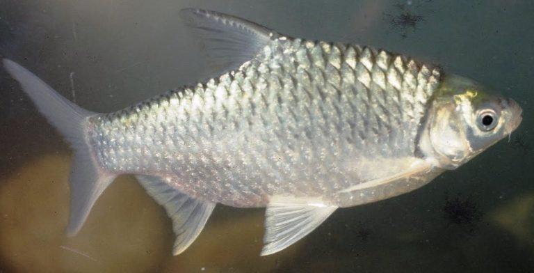 Ikan Lampam