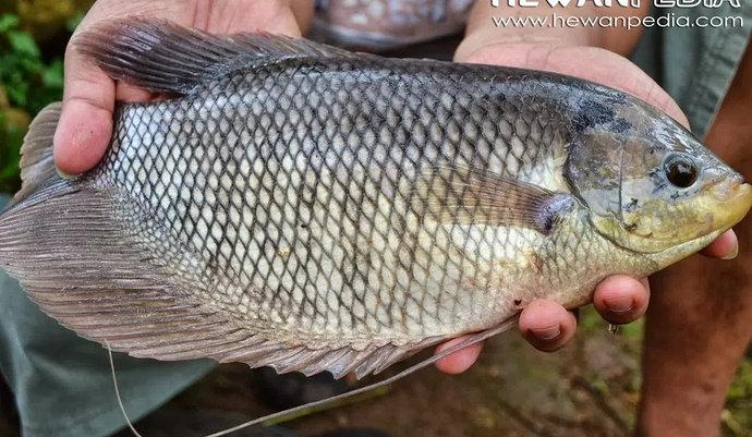 Bagaimana Cara Mengatasi Penyakit Cacar Pada Ikan Gurame Akuakultur Dictio Community