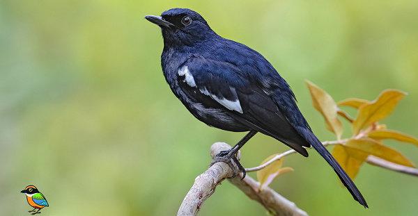 Apa Saja Jenis Burung Kacer Yang Ada Hewan Peliharaan Dictio Community