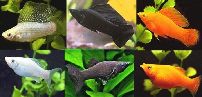 Ikan Molly