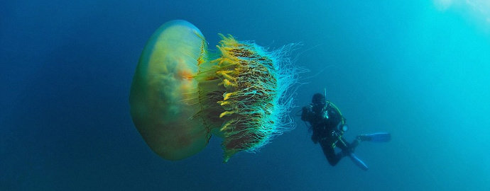 Ubur-ubur Nomura's jellyfish